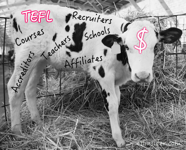 tefl cash cow